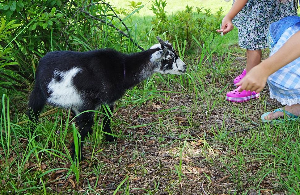 田舎体験 放し飼いのヤギ